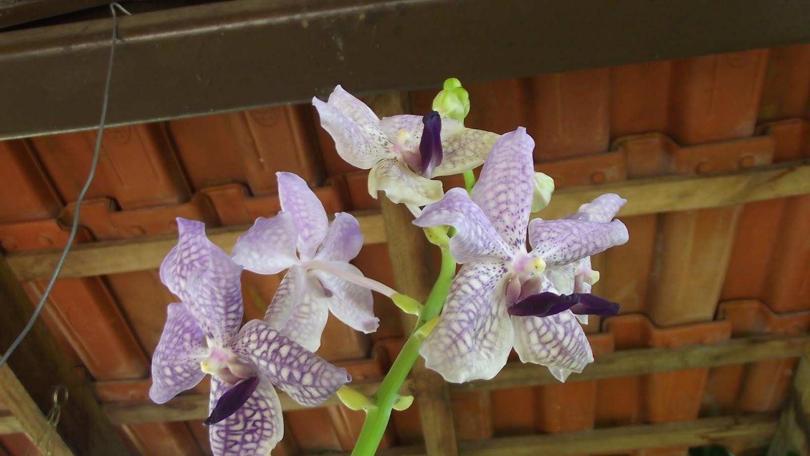 mesa jardim carrefour : mesa jardim carrefour:Orquídea Vanda – ganhei do marido hoje, Dia dos Namorados, ela não