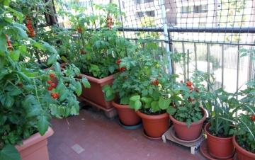 tomatinhos-tendem-a-ir-bem-nas-hortas-em-varandas-tanto-em-vasos-quanto-em-floreiras-mesmo-que-de-plastico-1424885599909_796x500