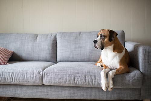 boxer-no-sofá.jpg